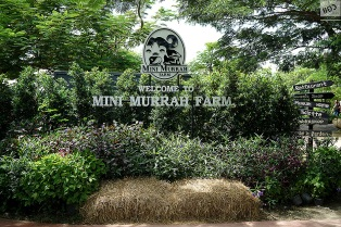 mini murrah farm